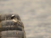 Pied Wagtail Royaltyfri Fotografi