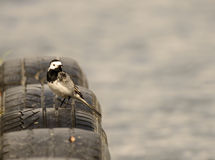 Pied Wagtail Royalty Free Stock Photography
