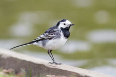 Pied Wagtail by the edge of a lake Royalty Free Stock Images