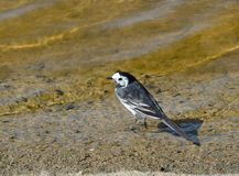 Pied Wagtail Stock Photography