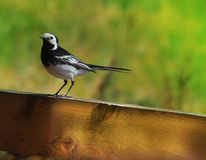 Pied Wagtail on Fence. Pied Wagtail perching on fence with blurred background Royalty Free Stock Photo