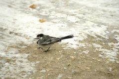Pied wagtail foraging in winter. Motacilla alba or Pied Wagtail fluffed up against the cold and foraging for scraps on the snow and ice in the UK in March Stock Photography
