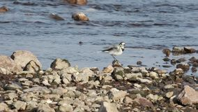 Pied Wagtail Having a Bath. Pied wagtail, Motacilla alba, is having a bath on shallow water among rocks stock video footage