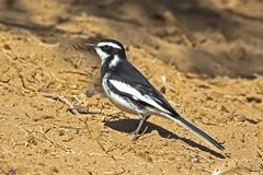 Pied Wagtail looking for insects royalty free stock images