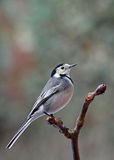 Pied Wagtail - Motacilla alba Royalty Free Stock Images
