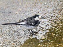 Pied wagtail stock photos