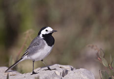 Pied Wagtail. A pied wagtail is perching on a piece of rock Royalty Free Stock Photos
