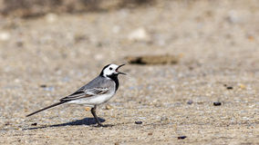 Pied Wagtail on Road Stock Image