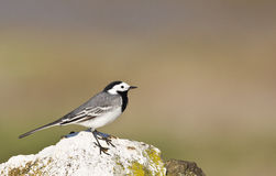Pied Wagtail on a Rock (Motacilla alba) Royalty Free Stock Image