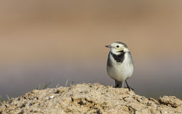 Pied Wagtail on Rock Stock Image