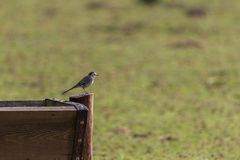 Pied wagtail Royalty Free Stock Photo