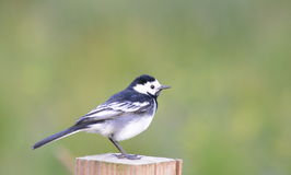 Pied Wagtail. A Pied Wagtail at Vane Farm, Loch Leven, Fife  Scotland, UK Royalty Free Stock Images