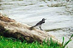 Pied warbler Zdjęcie Stock