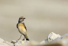 Pied Wheatear in Busaiteen beach Bahrain Stock Images