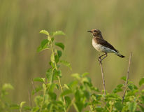 Pied Wheatear Oenanthe pleschanka Stock Photography