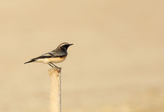 Pied Wheatear perched on iron pipe Royalty Free Stock Photos