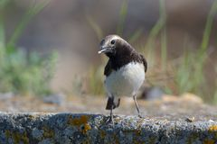 Pied wheatear on a rock royalty free stock images
