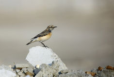 Pied Wheatear sitting on stone Stock Images