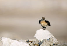 Pied Wheatear Royalty Free Stock Images