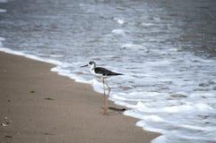 Pied stilt bird Himantopus leucocephalus. Pied white-headed stilt bird Himantopus leucocephalus on sand beach water line royalty free stock image