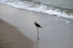 Pied stilt bird Himantopus leucocephalus. Pied white-headed stilt bird Himantopus leucocephalus on sand beach water line stock images