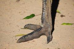 Piede dell'emù Fotografia Stock Libera da Diritti