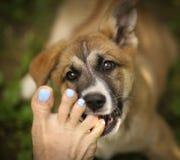 Piede nudo umano del morso di cucciolo di cane del pastore tedesco fotografia stock libera da diritti