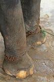 Piedi degli elefanti con i dispositivi d'ancoraggio Fotografia Stock Libera da Diritti