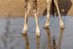 Piedi della giraffa in acqua bassa Fotografia Stock