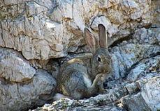 Piedi di pulizia del coniglio selvaggio sull'isola di Lokrum, Ragusa, Croazia fotografia stock libera da diritti