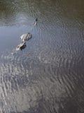 7 piedi integrali di coccodrillo selvaggio nell'acqua Fotografie Stock Libere da Diritti
