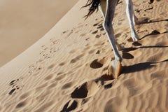 Piedini del cammello che camminano in sabbia. Fotografia Stock Libera da Diritti