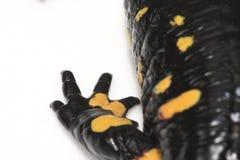 Piedino del Salamander di fuoco fotografia stock