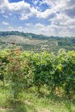 Piedmont near Asti,Italy. Vineyard landscape in Piedmont near Asti with Olive Grove in Background,Italy Stock Photography