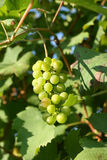 Piedmont vineyard Stock Image