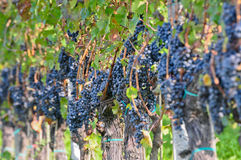 Piedmont vineyard Royalty Free Stock Images