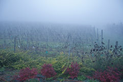 Piedmont vineyards planted with barbera misty Royalty Free Stock Image