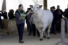 A piedmontese cow/ a show. A pedmontese cow/bulls , the great show and presentation of the breed bulls, Italy 8 march 2015 town Carmagnola stock photography
