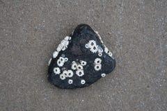 Piedra negra con las cáscaras de la lapa Fotografía de archivo libre de regalías