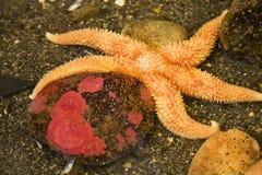 Piedra pacífica anaranjada brillante del rojo de las estrellas de mar foto de archivo