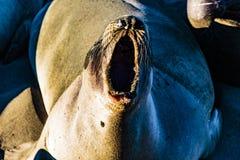 Piedras Blancas海象群 库存图片