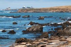 Piedras Blancas灯塔的海象殖民地在加利福尼亚中央海岸的圣西梅昂北部  库存照片