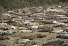 Piedras Blancas Elephant Seal Rookery near San Simeon, California Stock Photography
