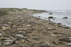 Piedras Blancas Elephant Seal Rookery near San Simeon, California Royalty Free Stock Photos