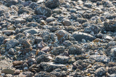Piedras cubiertas con las lapas de bellota del cierre Fotos de archivo