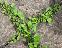Piedras de pavimentación de las malas hierbas Foto de archivo
