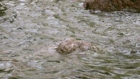 Piedras mojadas grandes en agua de ondulación almacen de metraje de vídeo