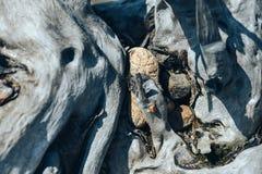 Piedras redondas de la estancia del río en la raíz grande del día soleado del gancho del árbol del dado imagen de archivo