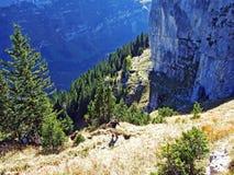 Piedras y rocas del macizo Alpstein de la montaña y en la región de Appenzellerland imágenes de archivo libres de regalías