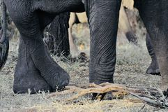 Pieds d'éléphant africain dans le sauvage photos libres de droits